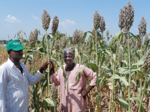 Farmer participatory evaluation of sorghum variety 12KNICSV188 released as SAMSORG45 nick named Improved or new Deko by farmers ( Photo - I. Angarawai, ICRISAT Nigeria)