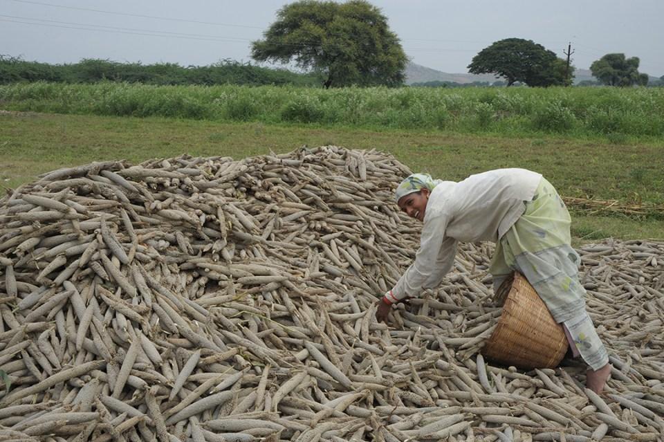 Pearl millet farmer in India.