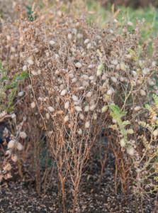 Machine-harvestable-Chickpea_-taller-variety_ICRISAT-Photo