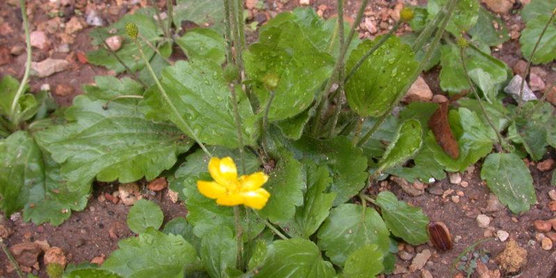 2014-12-04-Ranunculus-bullatus-M3