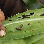 Digital Solution Trends from Fall Armyworm Tech Prize Finalists