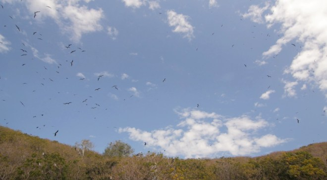 Thousands of Frigatebirds cruising the sky above Isla Isabel.