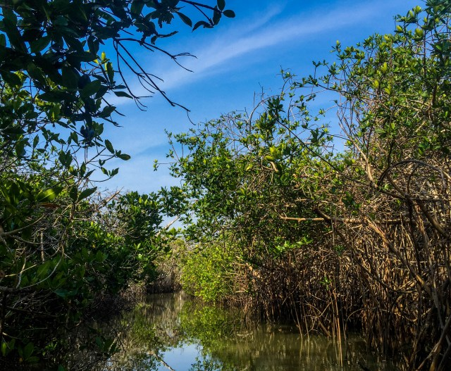A healthy stand of mangroves, home to not only the next generation of fish but hundreds of species of breeding birds and a sanctuary for the endangered American crocodile.
