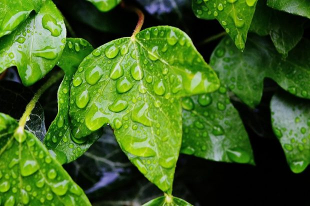 ivy-771141_1280