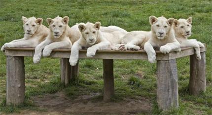 leoncini bianchi