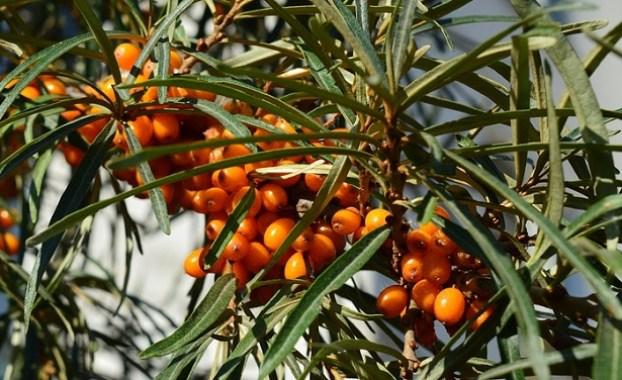L'olivello spinoso, hippophae rhamnoides, appartenente al genere delle Hippophae, comprende circa dieci specie; si tratta di un arbusto legnoso e pieno di spine che cresce spontaneamente nelle regioni temperate dell'Algeria e dell'Europa centrale e occidentale
