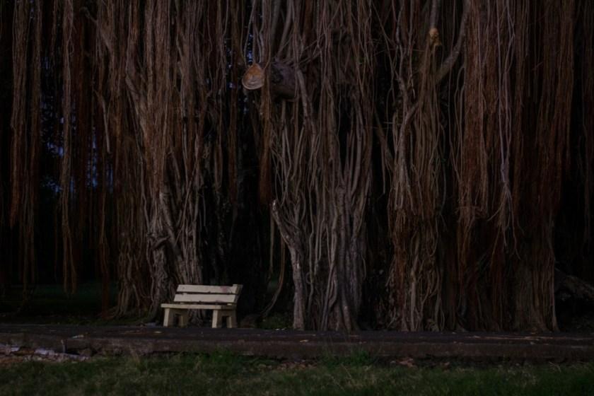 Baniant tree mauritius