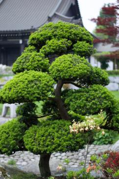 bonsai_14147117884_o