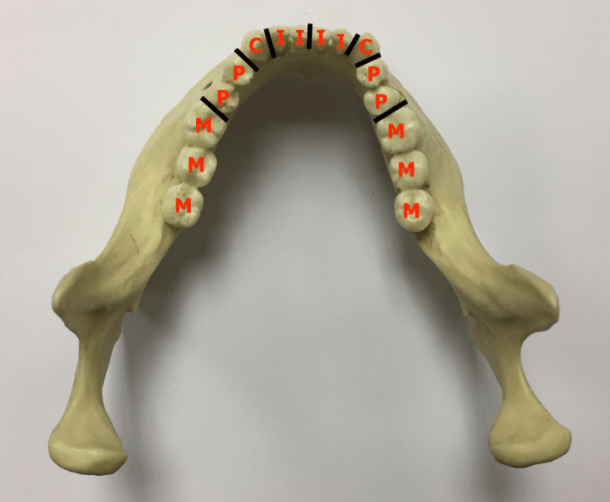 mandible with tooth positioning