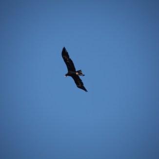 Eagle over Jasper