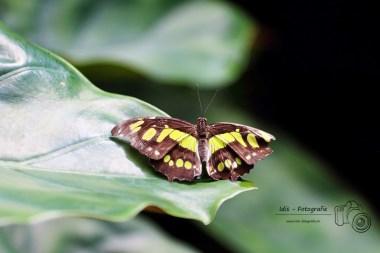 Insel Mainau - Schmetterling-150904-02