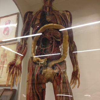 Specola_anatomie_organes