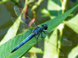 blog blue dragonfly