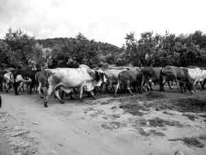 Some of Enonkishu's cattle in the Maasai Mara, Kenya