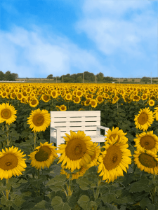Picture of a field of sunflowers with a white bench in the middle