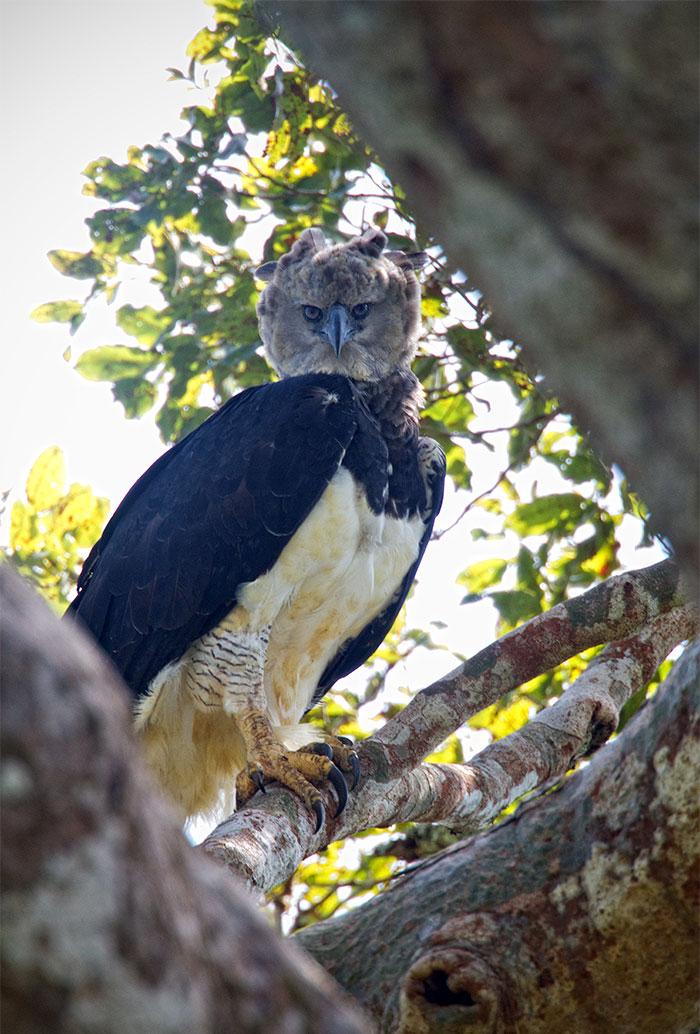 Ο τρομακτικός αυτός αετός ζει στα τροπικά δάση