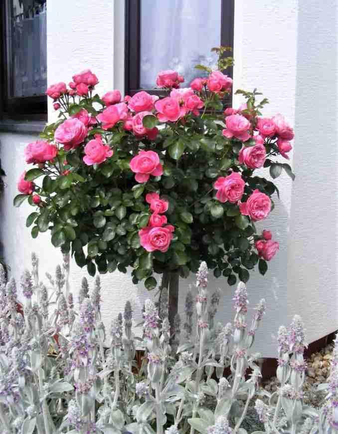 pomișor trandafir-min