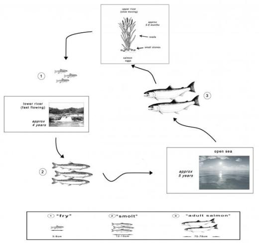 10 4 IELTS acdemic writing task 1 report life cycle of a species of large fish called the salmon.