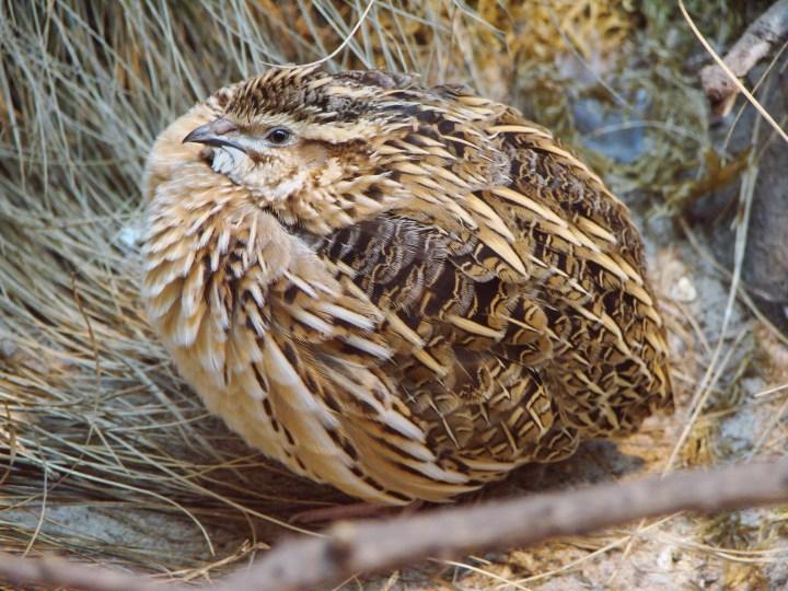 Quaglia comune - Fonte immagine wikipedia
