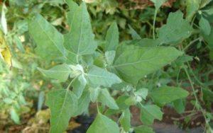 Farinello comune ( Chenopodium album )
