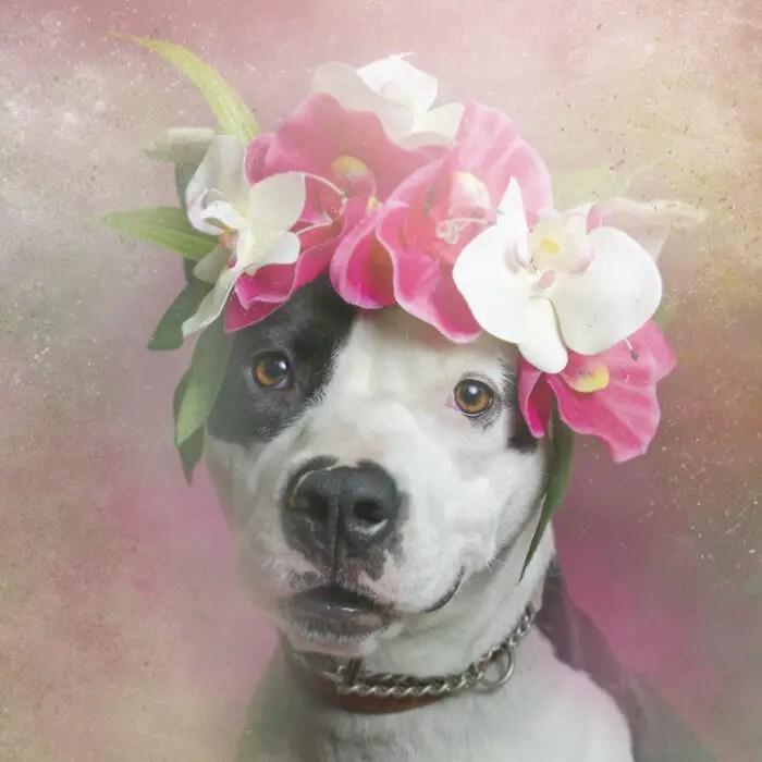 sophie gamand enchanting pit bull portraits Fancy