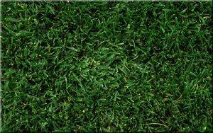 hybrid bermudagrass