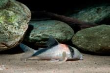 Die neue Form mit orangefarbenem Fleck hinter dem Kopf, die C. davidsandsi stark ähnelt