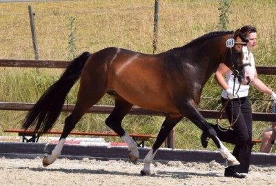 Choco Cracker WE v. Constantin, Hengst, Sektion PB
