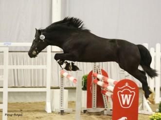 Cascob Welsh Black (1)
