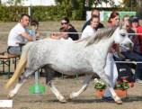 Welsh A Dyfwg Rhona 1a und Bundessiegerstute DSC_1170