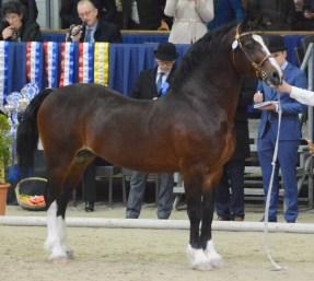 Caederwen Saracen Sek. D 11j. Champ. D DSC_7572