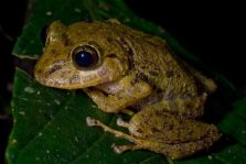 An unidentified rain frog