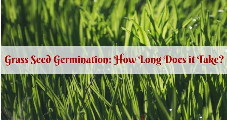 Grass Seed Germination How Long Does It Take Igra World