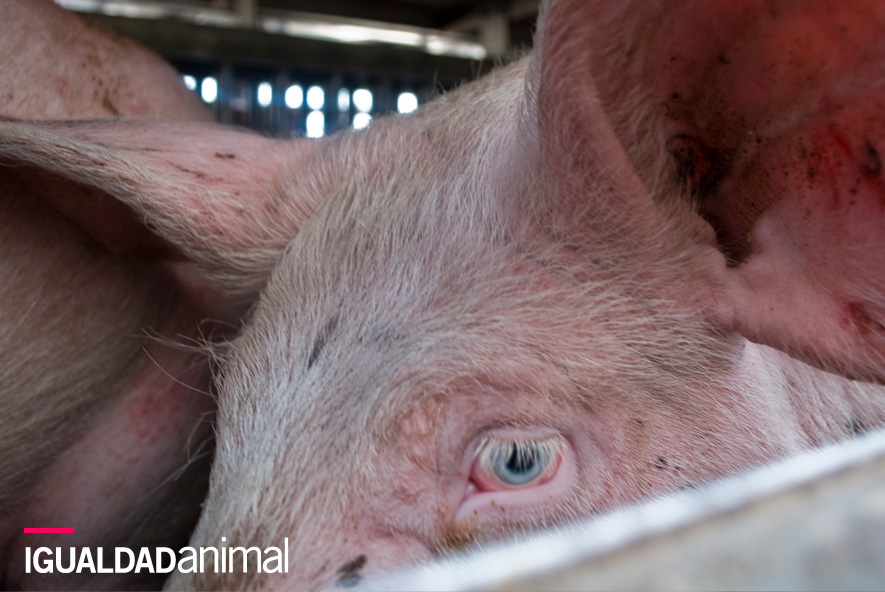 Cerdo camino del matadero: Su sufrimiento debería ser tenido en cuenta.