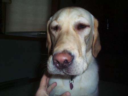 reaction swelling allergic Puppy facial
