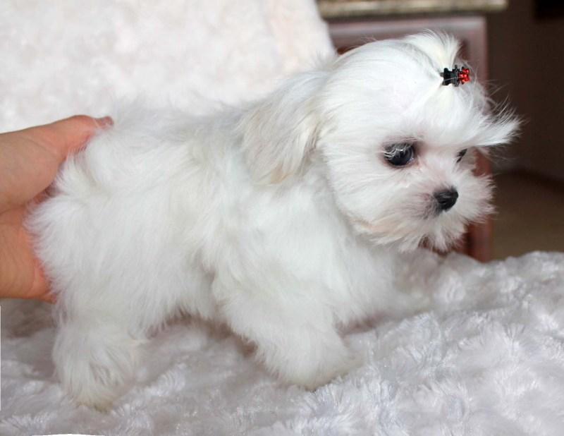 Calm Teacup Maltese Puppies Babydollface Micro Teacup Maltese Puppy