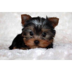 Affordable Ga Sale Nj Teacup Yorkie Puppies Sale Yorkies