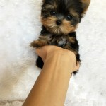 Micro Teacup Yorkie Exquisite Iheartteacups