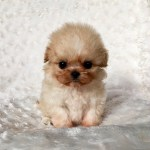 Micro Teacup Maltipoo Puppy Extreme Iheartteacups