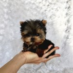 Extreme Micro Teacup Yorkie Puppy For Sale Los Angeles Breeder Iheartteacups