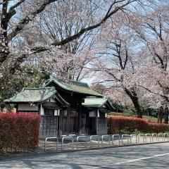 武道館の桜は何分咲き?