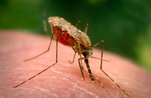 Fotografia do mosquito anopheles, do arquivo PHIL/CDC