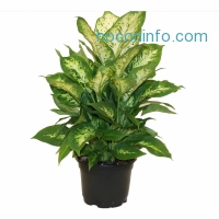 ihocon: Delray Plants Dieffenbachia Exotica in 6 Pot盆栽