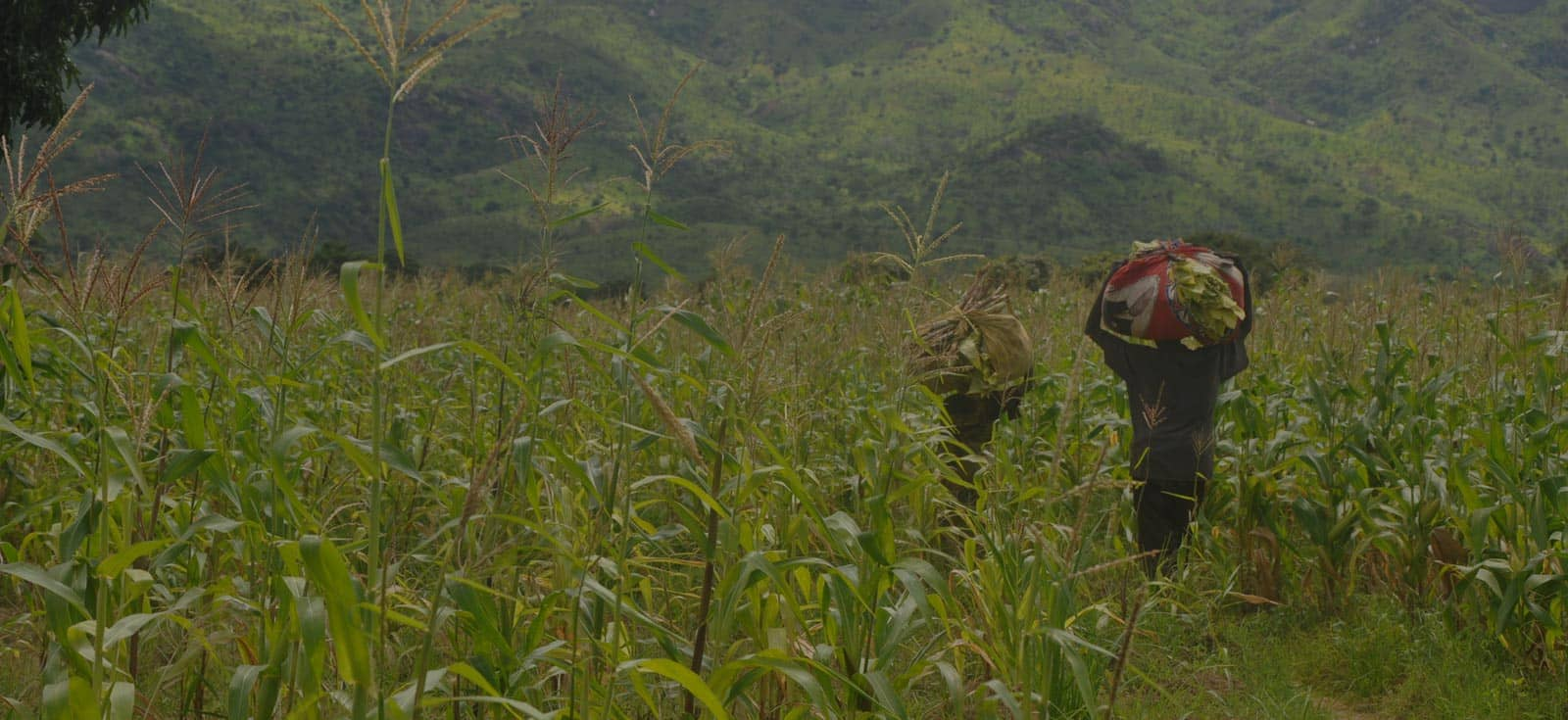 Iita S Drought Resilient Maize Takes Pressure Off African