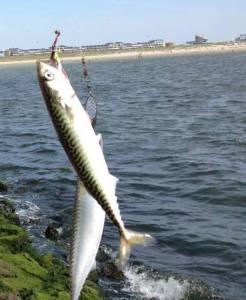 zuidpier makreel