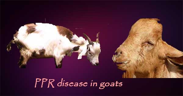 Bakri-ki-bimari-PPR disease