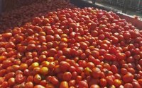 tomato-processing-business