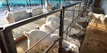 Goat-Farming-Systems-in-India in hindi