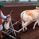 Draught-purpose-breeds-of-Cows-in-India