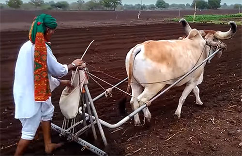 Draught purpose breeds of-Cows-in-India